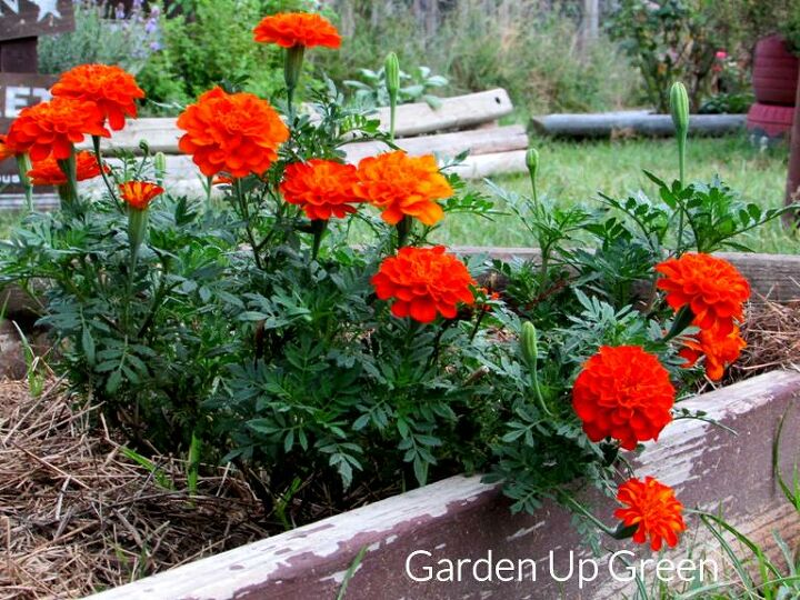 grow marigold flowers