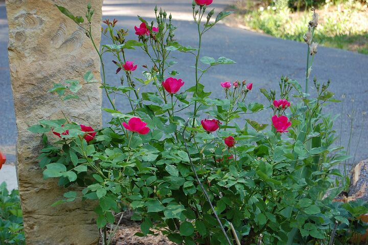 s grow roses, 5 How Can You Grow Roses from Cuttings