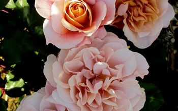 Fragrant and Fabulous: The Hometalker's Guide on How to Grow Roses