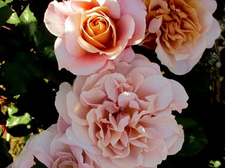 The Secrets To Success On How To Grow Roses Hometalk