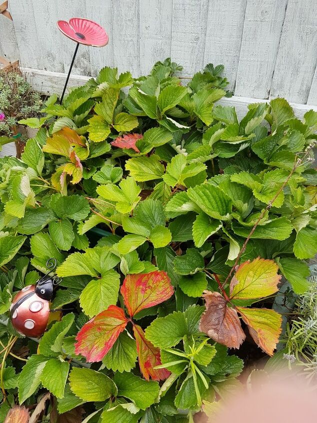growing new strawberry plants