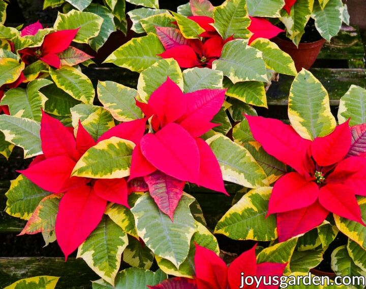 how to pick the perfect poinsettia and make it last