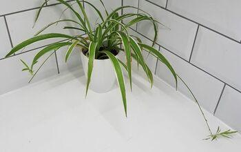Saving Baby Spider Plants