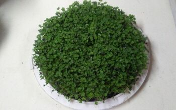 Grow Greens Simply-Salad Microgreens in a Repurposed Cake Carrier.