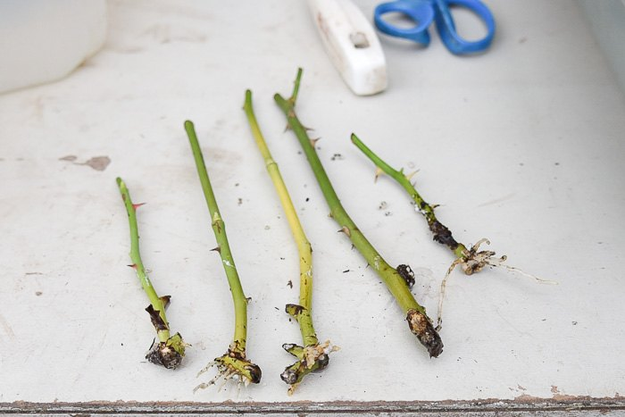 potting up your rooted rose cuttings