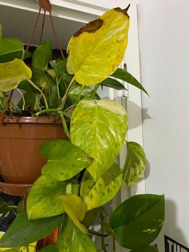 q what s happening to my pothos plant