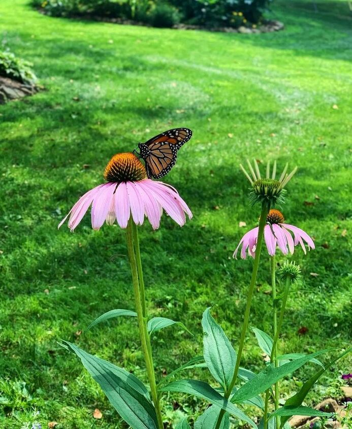 Gorgeous monarch sampling the echinacea.