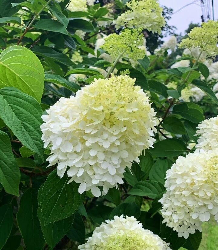 how to divide a hydrangea