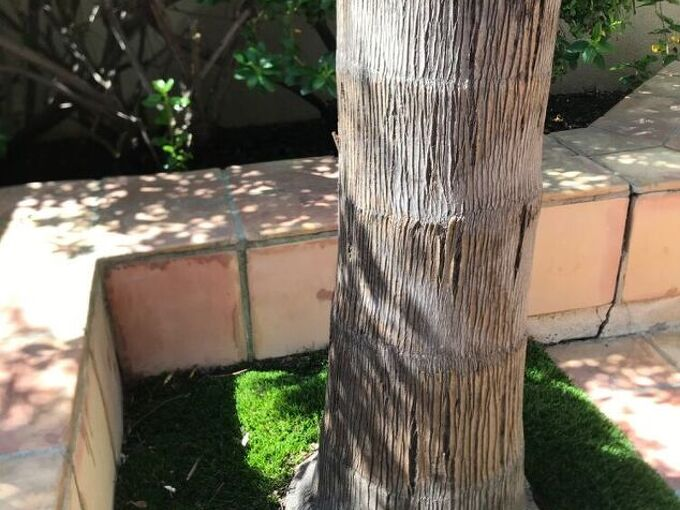 q question on queen palm base lifting and pulling up will it fall