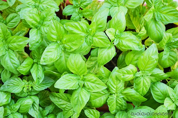how to harvest basil seeds and grow new plants every year for free