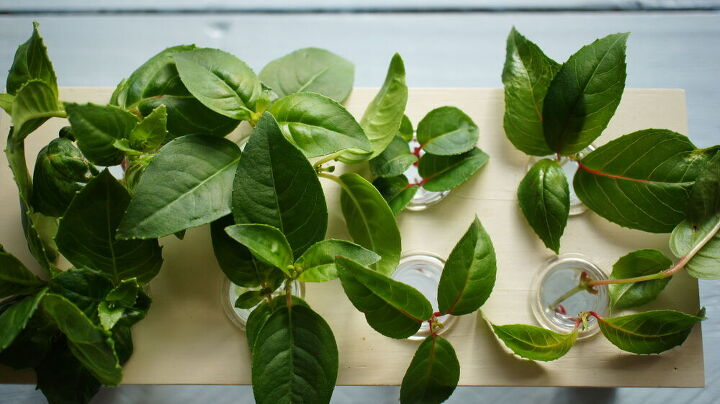 get free fuschia plants from cuttings