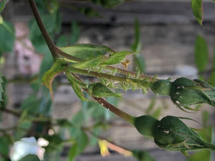 q what it is eating my roses trees