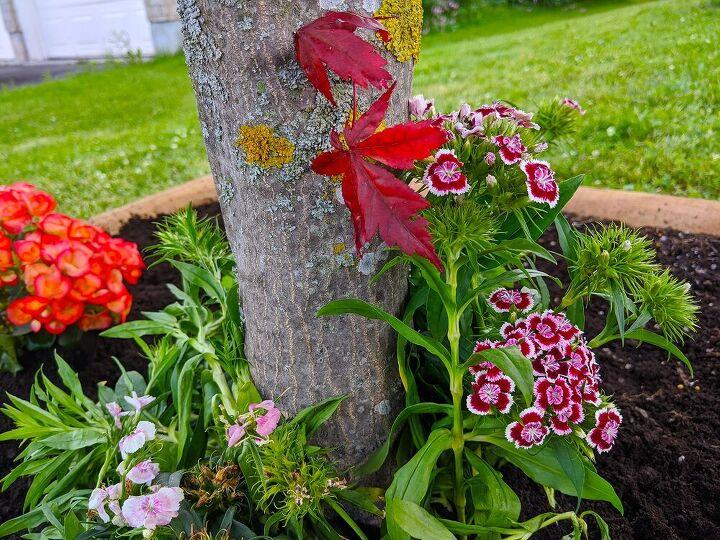 Sweet William perennials