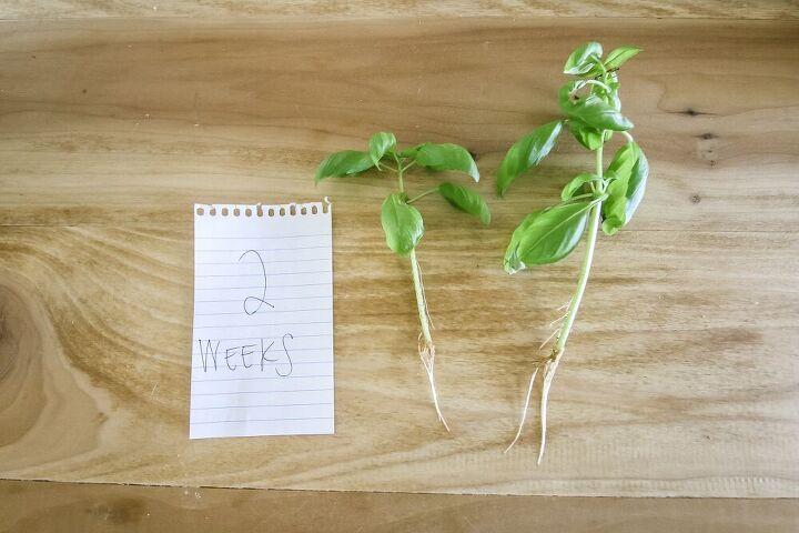 how to propagate basil