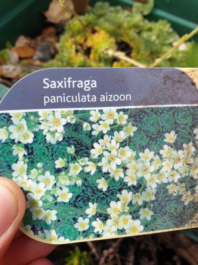 baby saxifraga plants