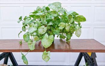Arrowhead Plant Propagation & Planting