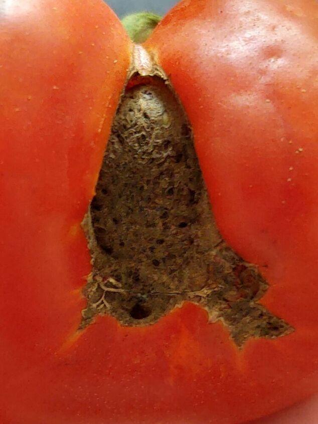 q tomato caterpillars
