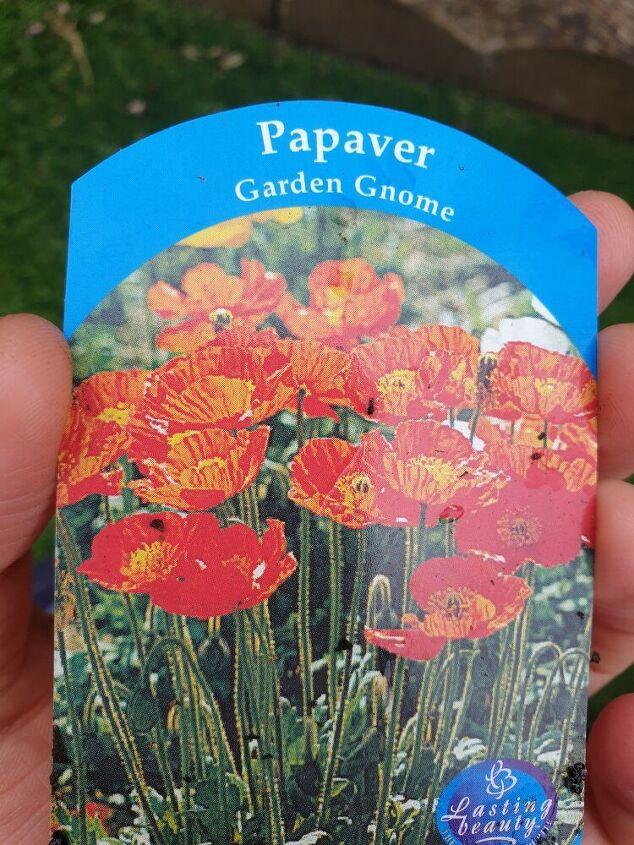harvesting poppy seeds