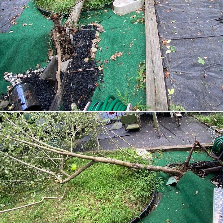 q uprooted apple tree
