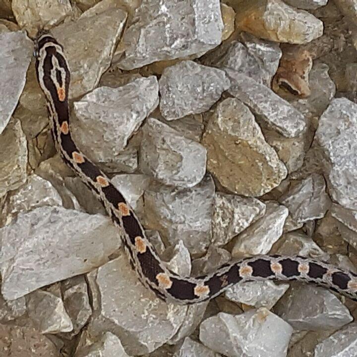 q identify this snake