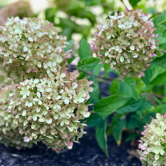 dry hydrangea blooms perfectly everytime