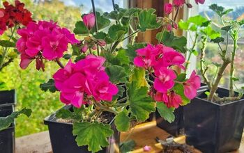 How to Start Geranium Cuttings