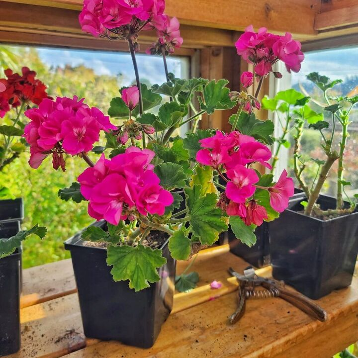how to start geranium cuttings
