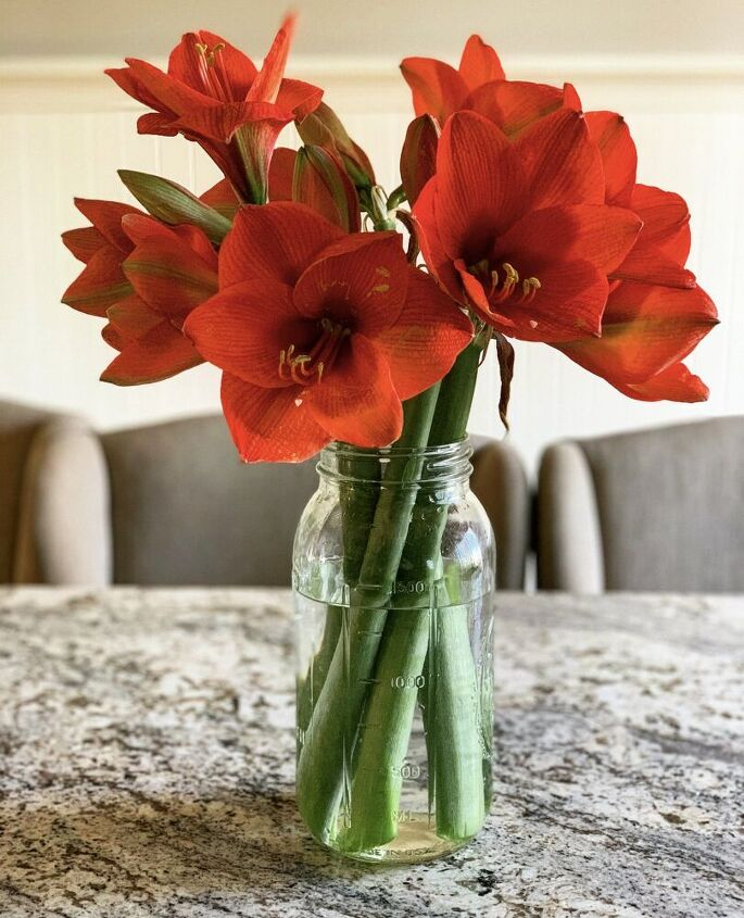 the complete guide to amaryllis care