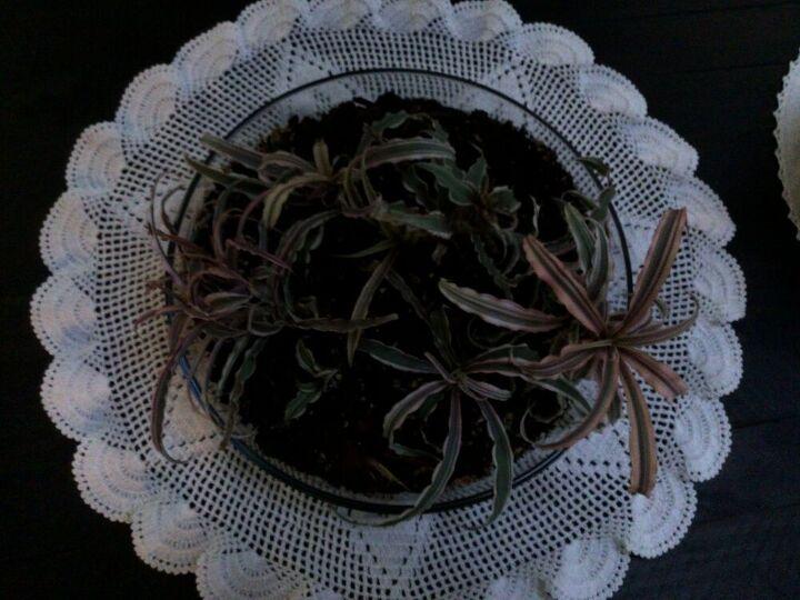 q plant