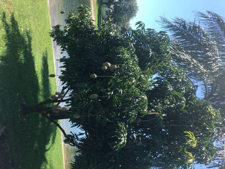 q how do you care for a mango tree
