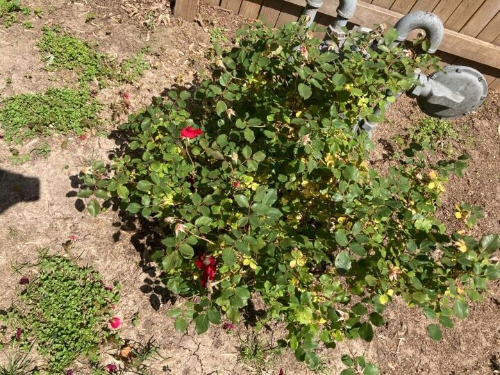 q what to do about rose bushes yellow leaves