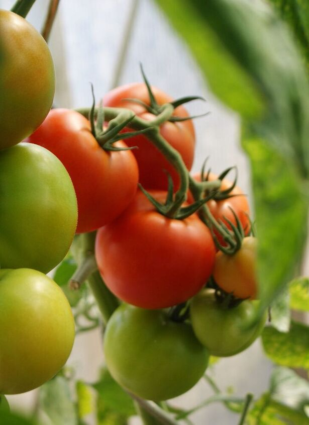 growing tomatoes simple tips you need to know for success