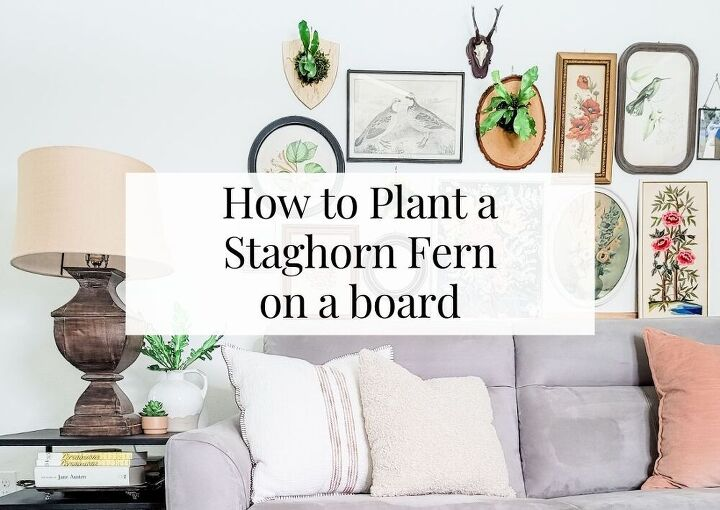 how to plant a staghorn fern on a board 804 sycamore