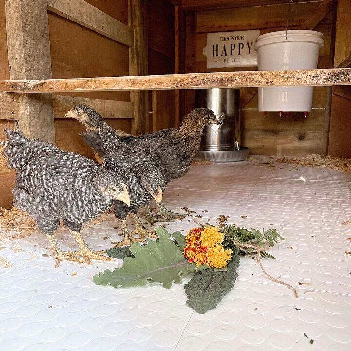 the perfect chicken coop floor