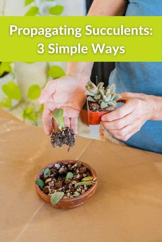 propagating succulents 3 simple ways