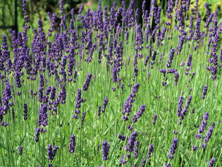 how to plant a beautiful lavender hedge in your garden