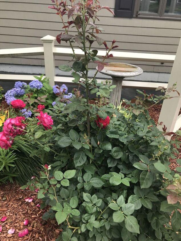 q rose bush