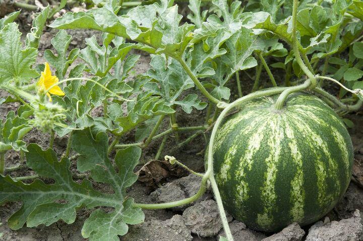 how to grow watermelon, how to grow watermelon