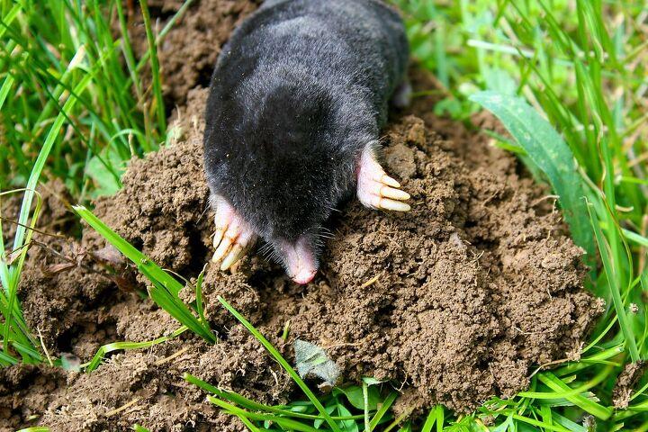 how to get rid of moles, how to get rid of moles