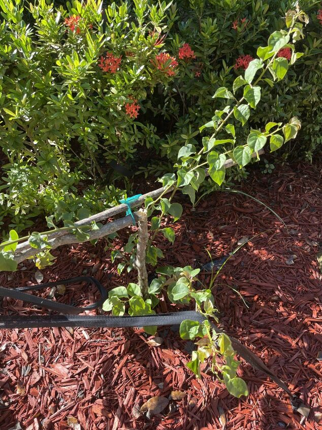 q how do i replant my bougainvillea topiary that broke off