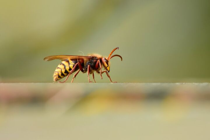 how to get rid of hornets, how to get rid of hornets