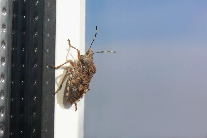 how to get rid of stink bugs, how to get rid of stink bugs