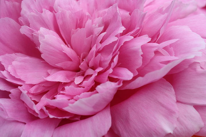 Peony close up!!!!  Such Beautiful Flowers. First year Bloom for me as well and I think it's become of my favorites!