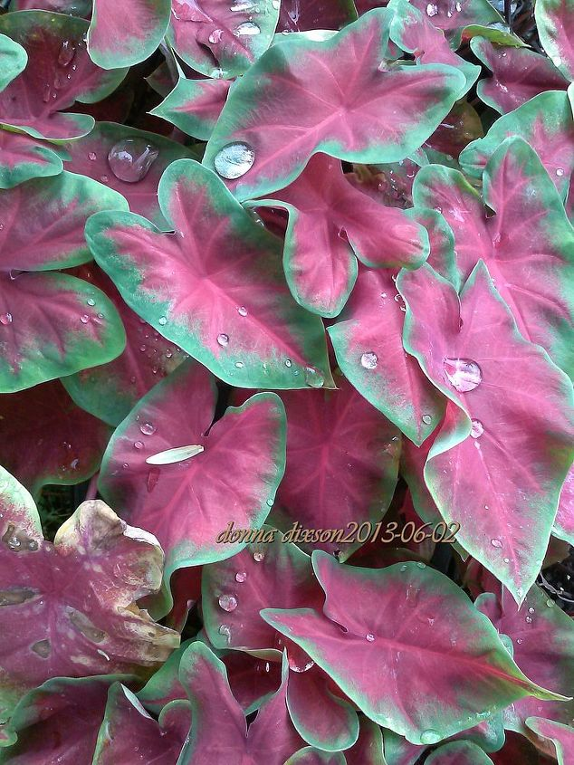 love me leaf me or we don need no stinkin blooms, flowers, gardening, hydrangea