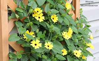 black eyed susan vine aka my little ray of sunshine, gardening