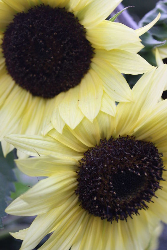 White Sunflower Tree's......Deadhead faded flowers to promote more bloom and will last to Fall/Frost!