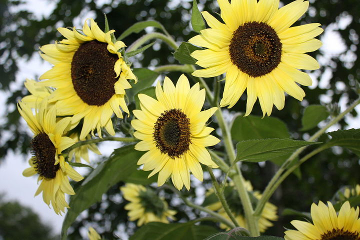 White/Yellow Sunflower Tree Mixture....Easily & Quickly Grown By seed! Will last to late fall to Frost.