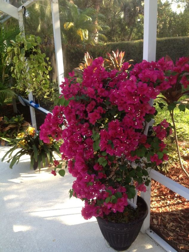 This bougainvillea is so beautiful this year