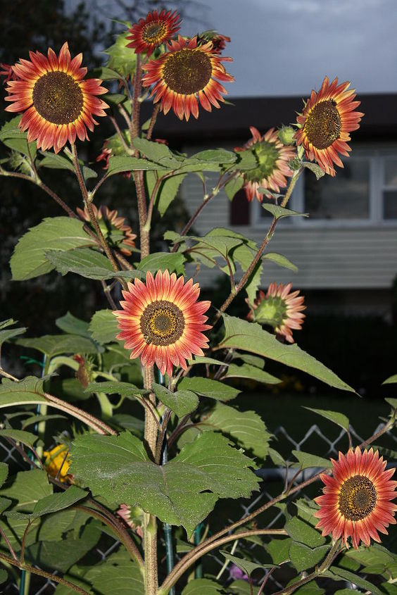 Red Sunflower Tree, Almost Christmas Tree shaped 4' - 5' ft. Same as other, dehead faded flowers to promote more growth