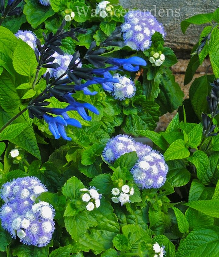 Blue ageratum and Saliva 'Midnight' - talk about Blue Heaven!